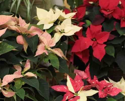 Weihnachtssterne, Adventssterne, Euphorbia mehrfarbig